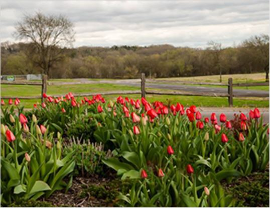 Red Tulips in front of a wooden fence with trees in the background